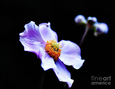Contemporary Photograph - Japanese Anemone by Tanya  Searcy