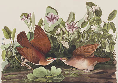 Dove Painting - Key West Dove by John James Audubon