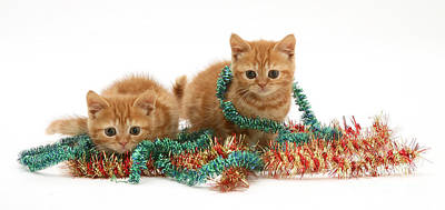Tabby Cat Photograph - Kittens With Tinsel by Jane Burton