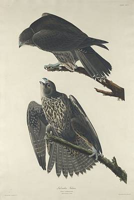 Falcon Drawing - Labrador Falcon by John James Audubon