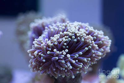 Euphyllia Photograph - Large Polyp Coral by Maurizio Biso