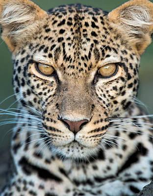Leopard Panthera Pardus, Ndutu Print by Panoramic Images