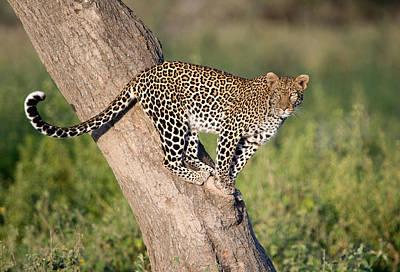 Leopard Panthera Pardus On Tree, Ndutu Print by Panoramic Images