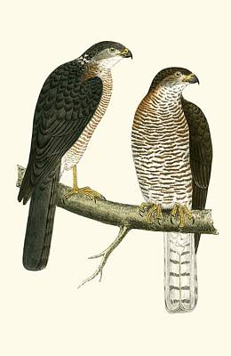 Falcon Drawing - Levant Sparrow Hawk by English School