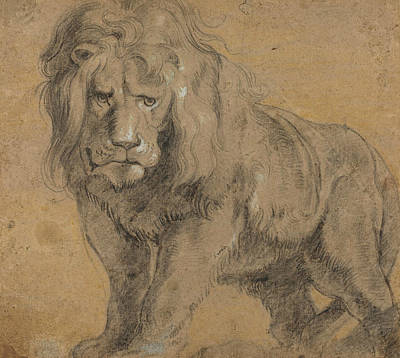 Flemish Drawing - Lion  by Peter Paul Rubens