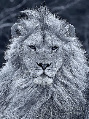 Lion Portrait In Black And White Print by Nick  Biemans