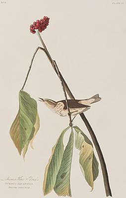 Louisiana Water Thrush Print by John James Audubon