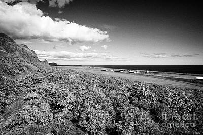 lupins lupinus nootkatensis growing wild near vik southern Iceland Print by Joe Fox