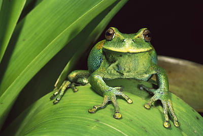 Marsupial Frog Photograph - Marsupial Frog Gastrotheca Orophylax by Pete Oxford