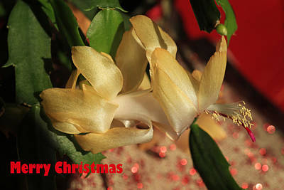 Holiday Cacti Photograph - Merry Christmas by Donna Kennedy