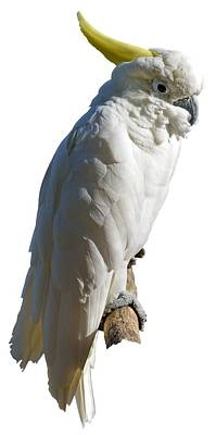 Birds Photograph - Mitchell's Cockatoo by George Atsametakis