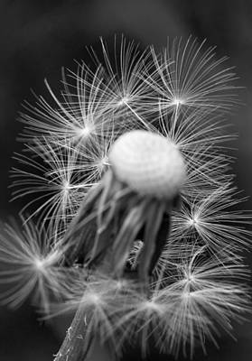 Monochrome Dandelion Seed Print by Lise-Lotte Larsson