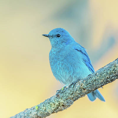 Mountain Bluebird Print by Angie Vogel