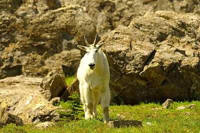 Wildlife Photograph - Mountain Goat by Jeff Swan