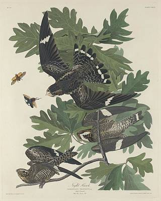 Hawk Drawing - Night Hawk by John James Audubon