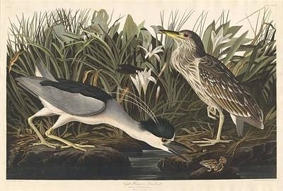 Egret Drawing - Night Heron Or Qua Bird by John James Audubon