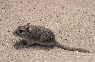 Gerbil Photograph - North African Gerbil by Gerard Lacz