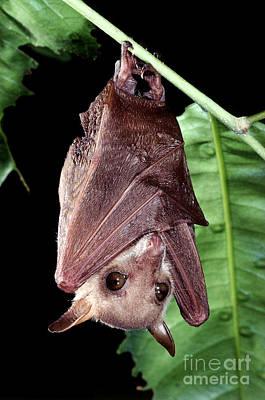 Bat Photograph - Northern Blossom Bat by B. G. Thomson