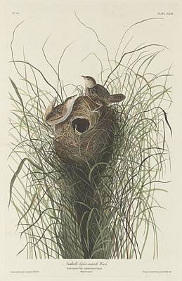 Wetlands Drawing - Nuttall's Lesser Marsh Wren by John James Audubon