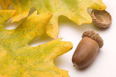 Oak Leaves And Acorns Print by Utah Images