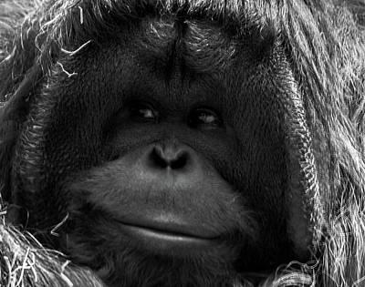 Orangutan Print by Martin Newman