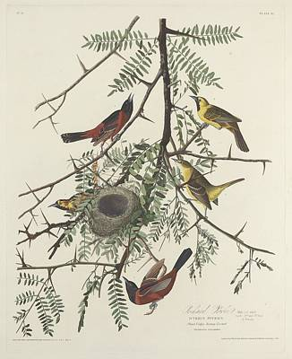Orioles Drawing - Orchard Oriole by John James Audubon