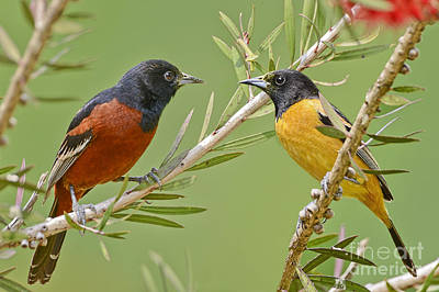 Oriole Photograph - Orchard Oriole Pair by Bonnie Barry
