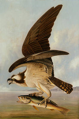 Osprey Painting - Osprey And Weakfish by Mountain Dreams