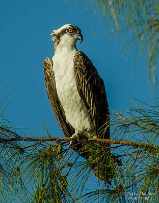 Photograph - Osprey by Patty MacInnis