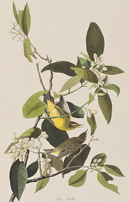 Warbler Drawing - Palm Warbler by John James Audubon