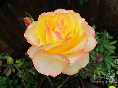 Peace Rose Print by Joyce Woodhouse