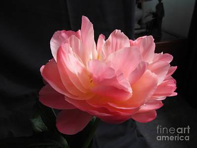 Peonies Flower Print by Joyce Woodhouse
