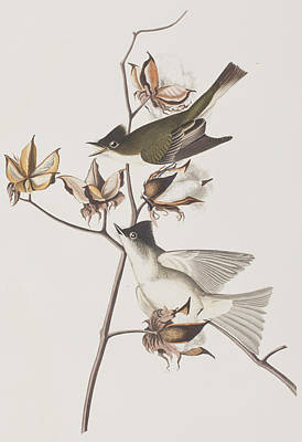 Flycatcher Painting - Pewit Flycatcher by John James Audubon