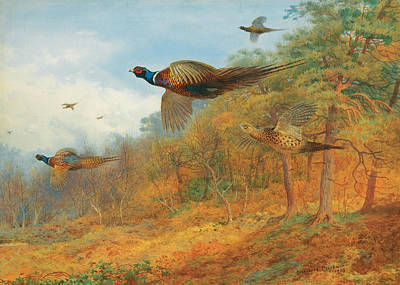 Pheasant Drawing - Pheasants Breaking Out Of Cover by Archibald Thorburn