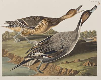 Duck Drawing - Pin-tailed Duck by John James Audubon