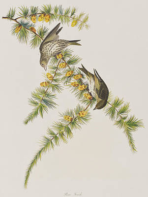 Finch Drawing - Pine Finch by John James Audubon
