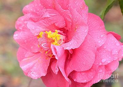 Pink Camellia Closeup Print by Carol Groenen