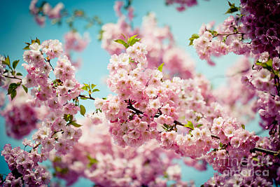 Pink Cherry Blossoms Sakura Print by Raimond Klavins