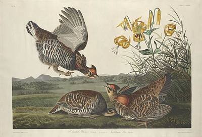 Chicken Drawing - Pinnated Grouse by John James Audubon