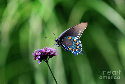 Pipevine Swallowtail Butterfly 2011 Print by Karen Adams