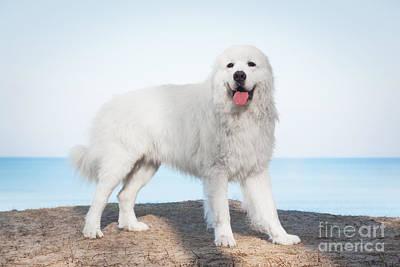 Dog Photograph - Polish Tatra Sheepdog Role Model In Its Breed by Michal Bednarek