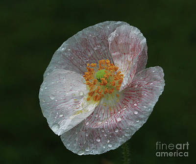 Photograph - Poppy by Gary Wing