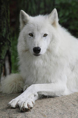 Arctic Wolf Photograph - Posing For The Camera by Gerry Sibell