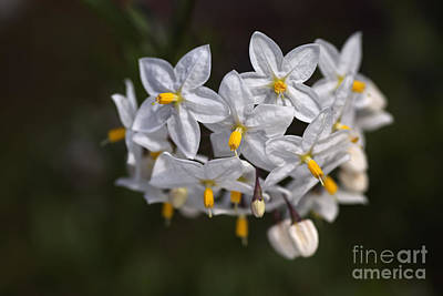 Photograph - Potato Vine In Flower  by Joy Watson