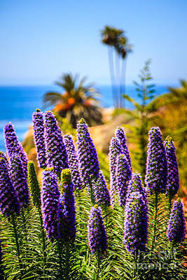 Pride Of Madeira Flowers In Orange County California Print by Paul Velgos