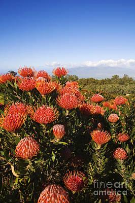 Protea Blossoms Print by Ron Dahlquist - Printscapes