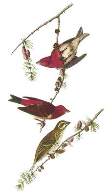 Finch Painting - Purple Finch by John James Audubon