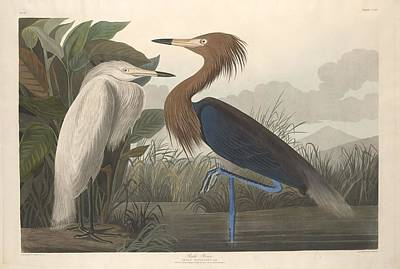 Egret Drawing - Purple Heron by John James Audubon