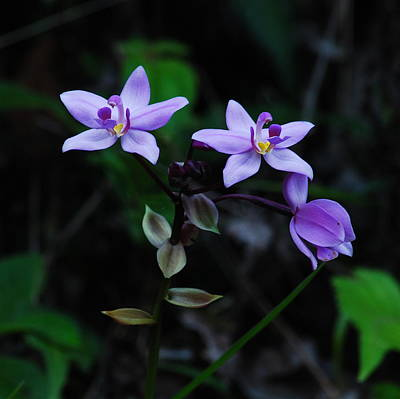 Mgp Photograph - Purple Orchids 2 by Michael Peychich