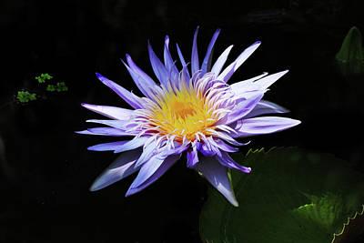Purple Water Lily Print by Grace Dillon